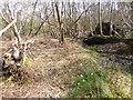 SZ0182 : Godlingston Heath, daffodils by Mike Faherty