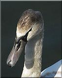 SE7170 : Mute swan cygnet by Pauline E