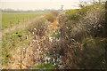 SE7101 : Bulrushes by Richard Croft