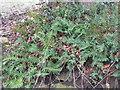 NT6522 : Polypody fern (Polypodium vulgare) by M J Richardson