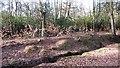 ST1333 : New hedge, Coursley Brake by Richard Webb