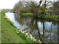 TF4901 : Daffodils on the bank of Well Creek by Richard Humphrey