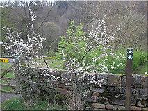 SK3089 : Hawthorn bush near Wisewood cemetery by Rudi Winter