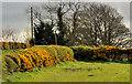 J2963 : Whin hedges near Lisburn by Albert Bridge