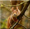 TQ3643 : Tarzan Squirrel by Peter Trimming