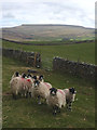 NY7404 : Ash Fell sheep looking for a handout by Karl and Ali