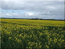 SE3970 : Oilseed rape crop, Town End Fields by JThomas
