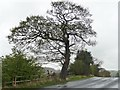 NZ1760 : Roadside tree, Thornley Lane by Christine Johnstone