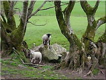H5371 : Sheep among the trees, Bancran by Kenneth  Allen