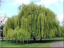 TQ3289 : Weeping Willow by Christine Westerback