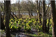 NS3882 : American Skunk-cabbage by Lairich Rig