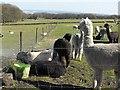SK2883 : Mayfield Alpacas by Penny Mayes