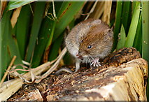 TQ3643 : Vole Scratch by Peter Trimming