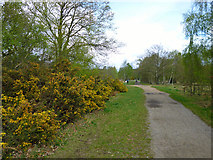 TQ2372 : Gorse by the path by Robin Webster