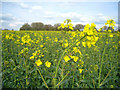 SU5748 : Oilsseed rape (Brassica napus) by Given Up