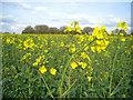 SU5748 : Oilsseed rape (Brassica napus) by Sandy B