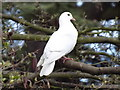 TQ1263 : White Dove by Colin Smith