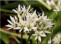 J4681 : Wild garlic, Crawfordsburn Country Park by Albert Bridge
