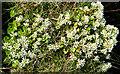 NM4099 : Scurvygrass by Anne Burgess