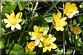 NM4099 : Lesser Celandine (Ranunculus ficaria) by Anne Burgess
