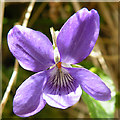 NM4198 : Common Dog Violet (Viola riviniana) by Anne Burgess