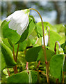 NM4199 : Wood Sorrel (Oxalis acetosella) by Anne Burgess