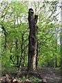 TQ4693 : Recently pollarded oak by Roger Jones