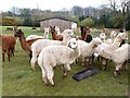 NY9369 : The crowd, Fallowfield Alpacas by Oliver Dixon