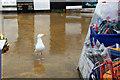 SY3391 : Herring Gull (Larus argentatus) by Christine Matthews