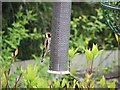 NY9363 : Goldfinch at feeder by Oliver Dixon
