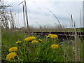 TF4406 : Dandelions on the Bramley Line near Wisbech by Richard Humphrey