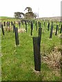 NY6167 : Young willows at Slack House Farm by Oliver Dixon