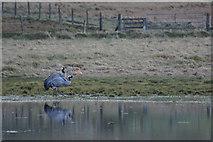 HP6312 : Common Cranes (Grus grus) at Haroldswick pool by Mike Pennington