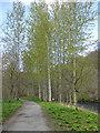 SE0755 : Poplars beside the River Wharfe by Pauline E