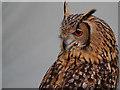 SD4615 : Bengal Eagle Owl by David Dixon