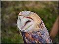 SD4615 : Barn Owl by David Dixon