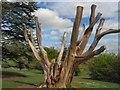 TQ3309 : Tree in Stanmer Park by Paul Gillett