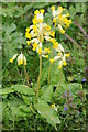 SO8844 : Cowslips by Philip Halling