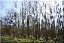 TQ4532 : Coppiced trees by N Chadwick