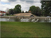 TL0549 : Swans on River Great Ouse at Bedford by Paul Gillett
