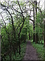 TQ3653 : North Downs Way in Hanging Wood by David Anstiss