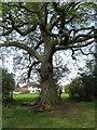 SP3176 : Oak tree by Tutbury Avenue by E Gammie