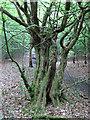 TQ4894 : Moss on hornbeam with split trunk by Roger Jones