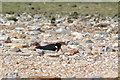 TF6432 : Oyster Catcher, Snettisham Beach, Norfolk by Christine Matthews