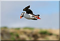 NT6599 : A puffin on the Isle of May by Walter Baxter