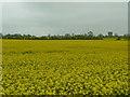 TL2140 : Oilseed rape near Edworth by Alexander P Kapp
