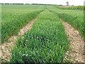 TA0019 : Winter Wheat near Manor Wold Farm by David Wright