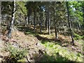 NH6852 : Larches and Pines on Wood Hill by Alan Reid