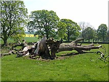 NZ0285 : Fallen tree, Cambo by Oliver Dixon
