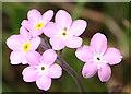 NJ1152 : Wood Forget-me-not (Myosotis sylvatica) by Anne Burgess